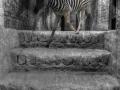 Das Zebra auf der Treppe