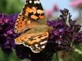 Schmetterlinge 079