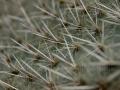 00074 Kaktus Stacheln IMG 2679