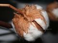 00201 Baumwollkapsel Art 137