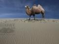 Die Wueste und das Kamel