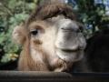 Duisburger Zoo Oktober 2014 Kamele _0296.JPG