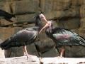 00459 Wuppertaler Zoo voegel 009